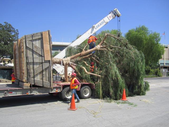 Arborist Expert Witness